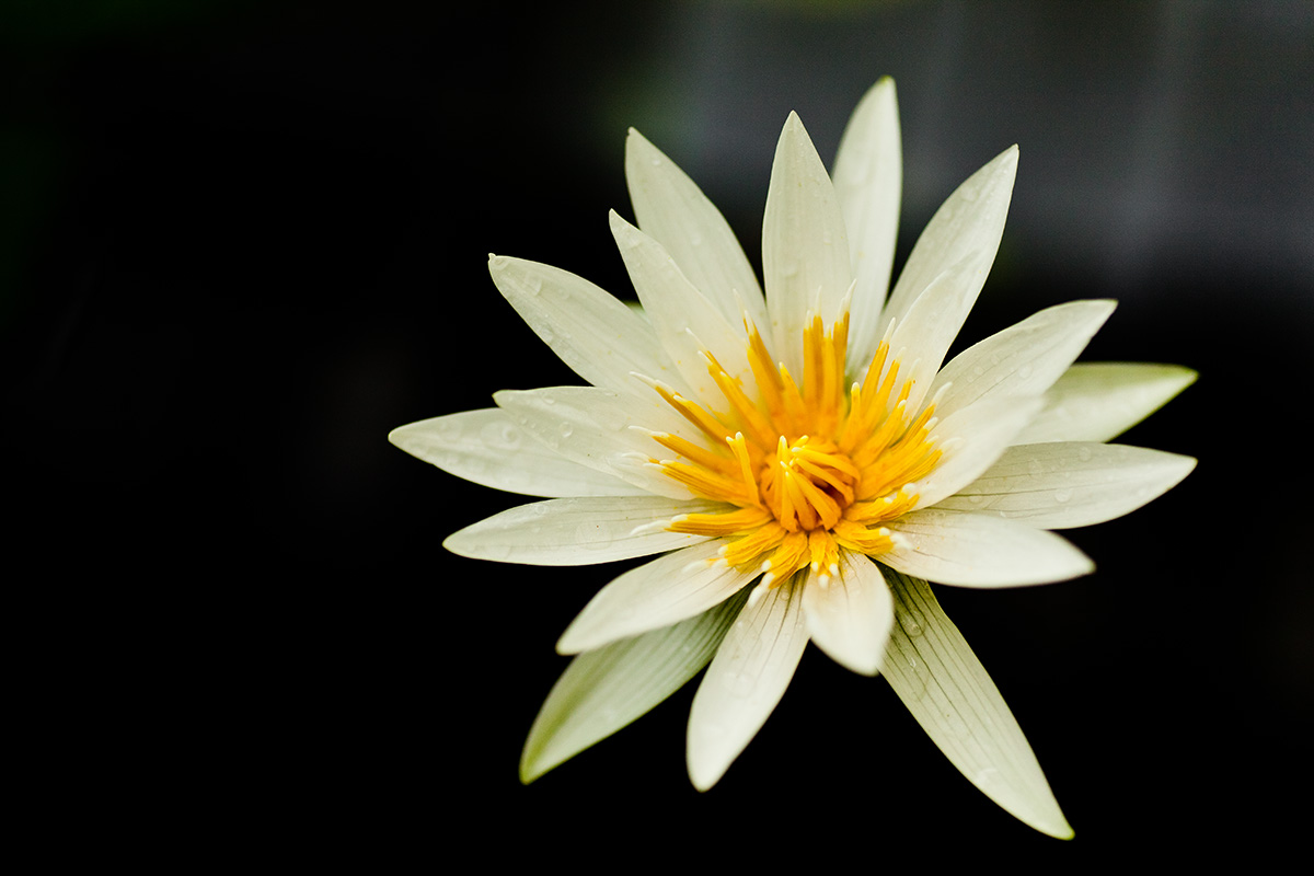 water lily in darkness