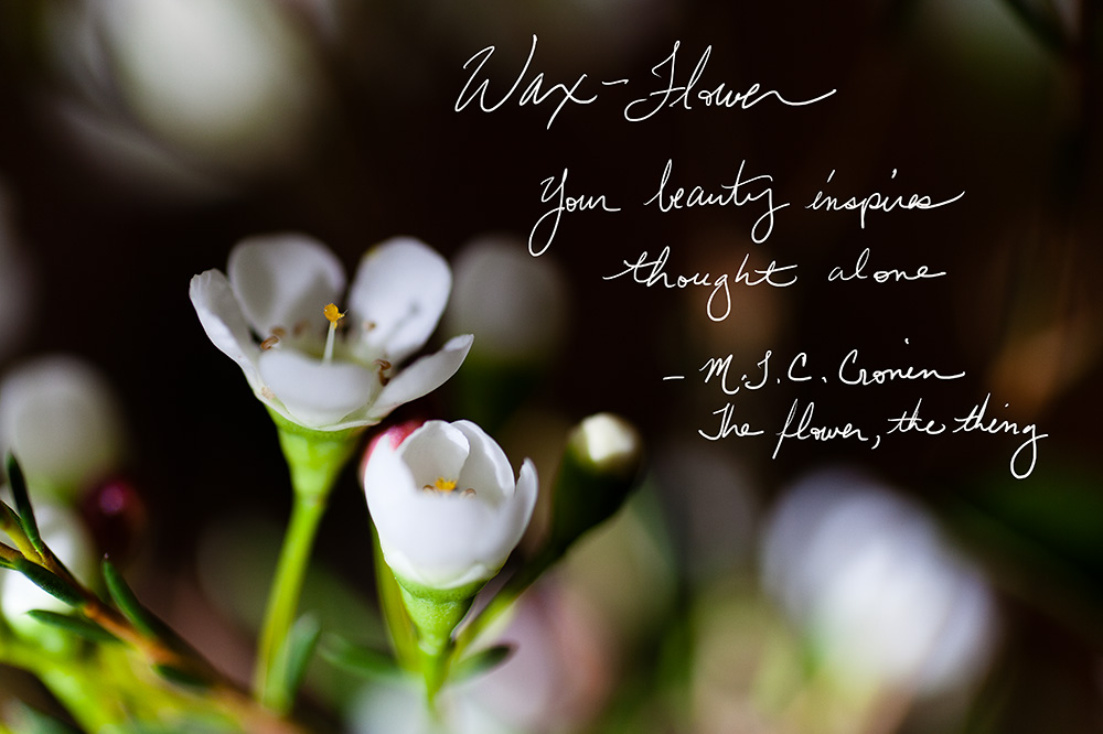 Waxflower, poetry by M. T. C. Cronin