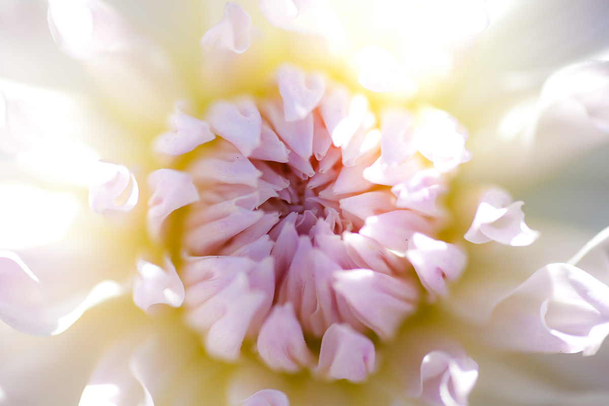 pink, yellow, white dahlia